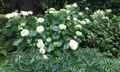 Hydrangea and umbrella plant